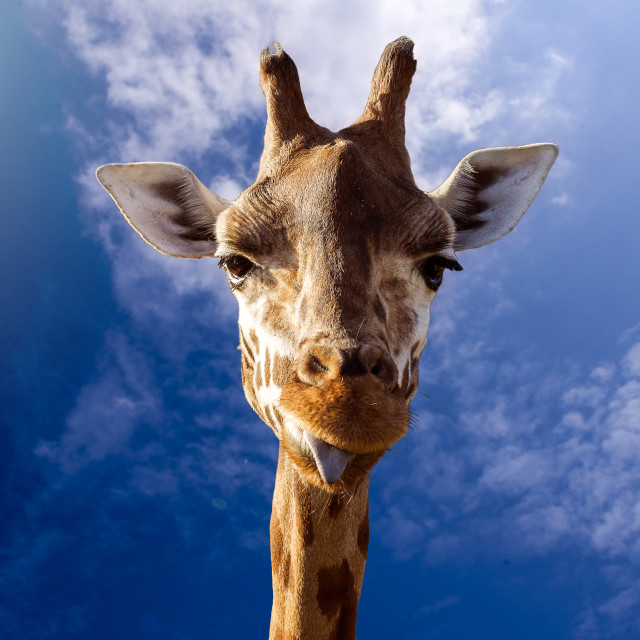 """Blue Sky Giraffe"" stock image"