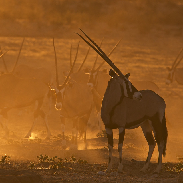 """Golden Kgalagadi Dust"" stock image"