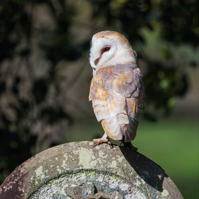 """Barn Owl on a headstone"" stock image"