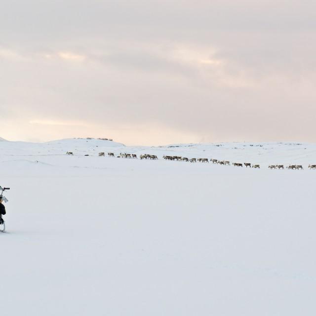 """""""Skiing with reindeers"""" stock image"""