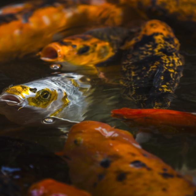 """Koi fish"" stock image"