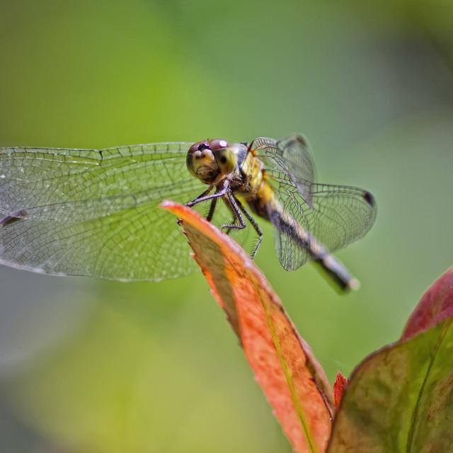 """Dragonfly on leaf."" stock image"