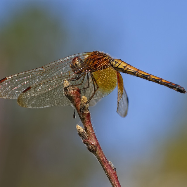 """Brown hawker dragonfly on stem."" stock image"