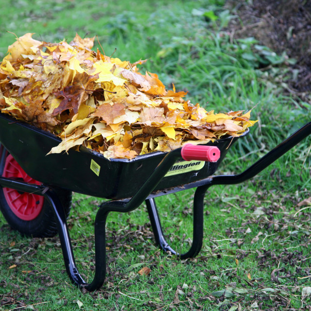 """A wheelbarrow loaded with autumn leaves"" stock image"