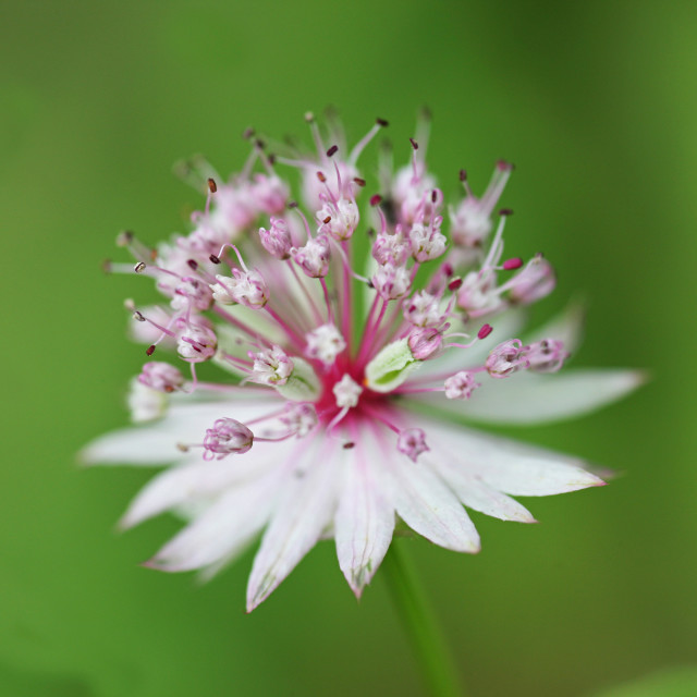 """close up shot of a pink Astrantia flower"" stock image"