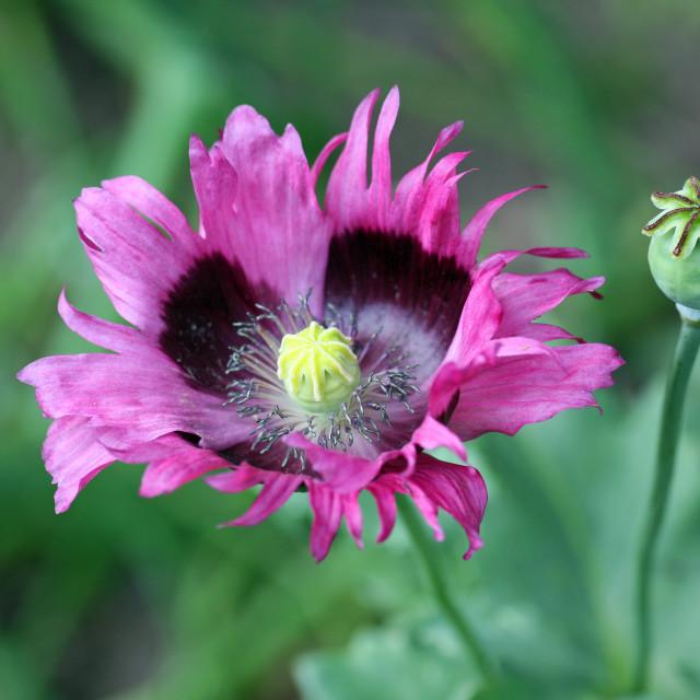"""A close-up shot of a pink purple Papaver Poppy"" stock image"