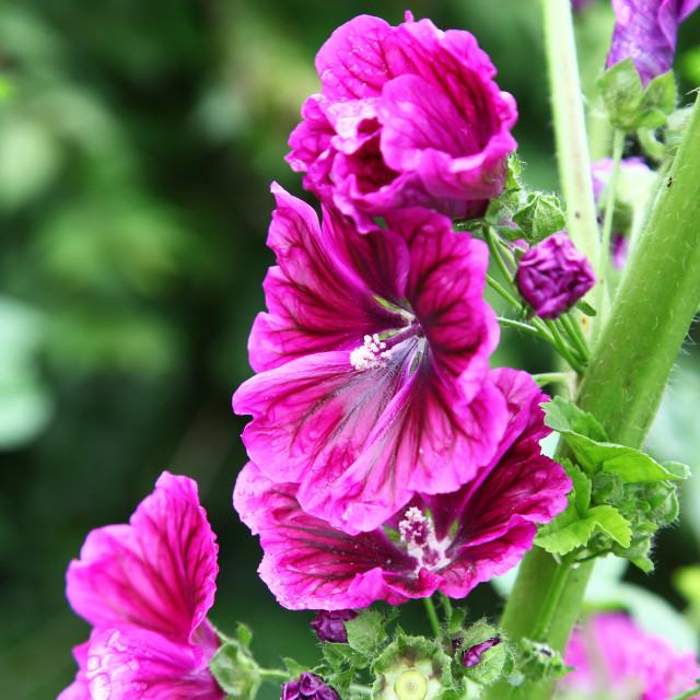 """Pink purple flowers of a Hollyhock Alcea rosea plant"" stock image"
