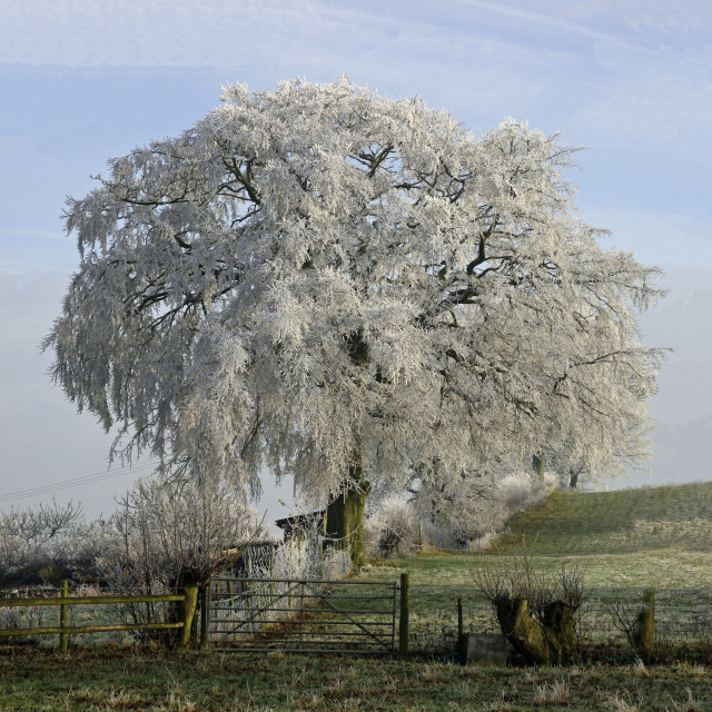"""A frost covered tree with ice covered leaves in winter"" stock image"