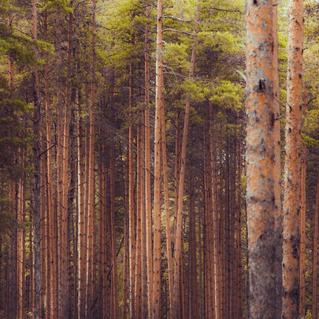 """Forest belt"" stock image"