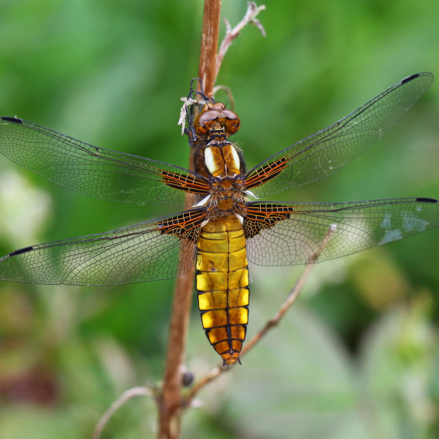 """""""A close up or macro shot of a female Broad-bodied Chaser (Libellula depressa) dragonfly"""" stock image"""