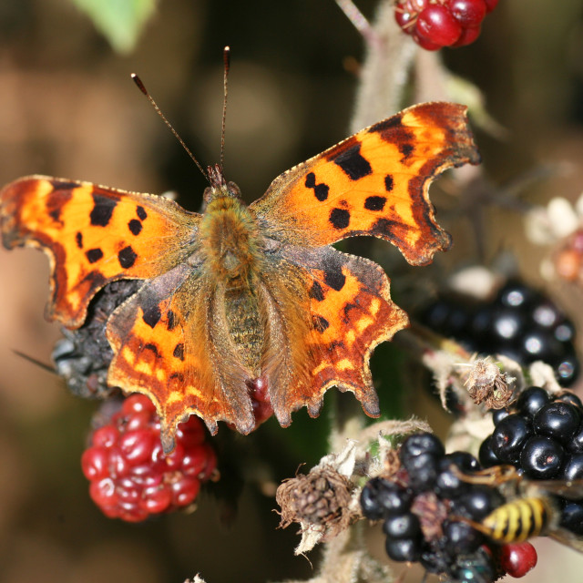 """Comma (Polygonia c-album) butterfly feeding on a Common Blackberry (Rubus fruticosus) bush"" stock image"