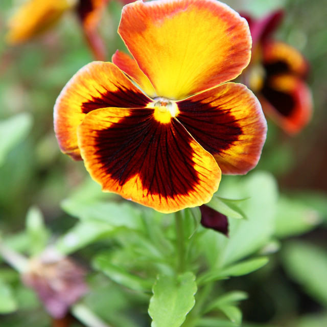 """A close up of a brown, orange, and yellow pansy or pansy violet"" stock image"