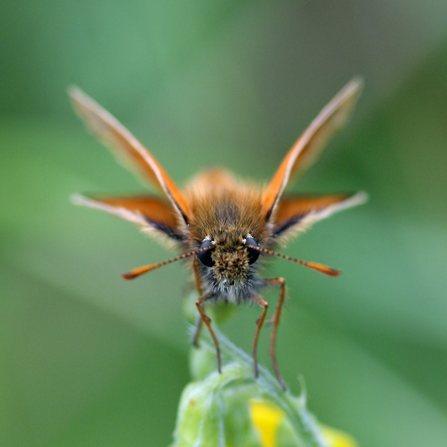 """Small Skipper (Thymelicus sylvestris) Butterfly perched feeding on a flower"" stock image"