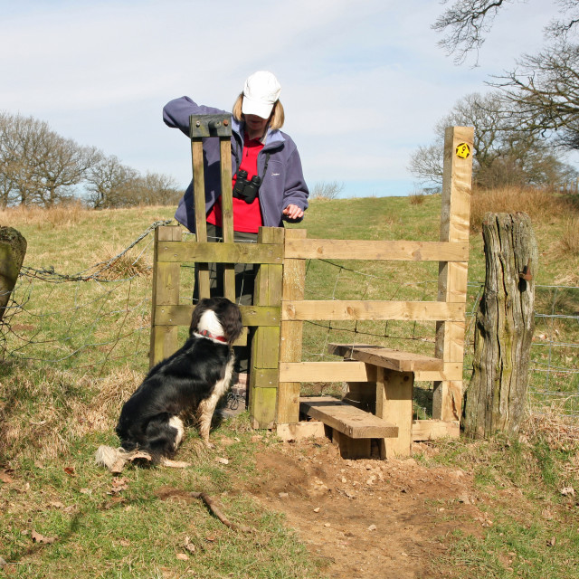 """A woman dog walker crossing a stile with her dog going through a dog gate at the side of the stile"" stock image"
