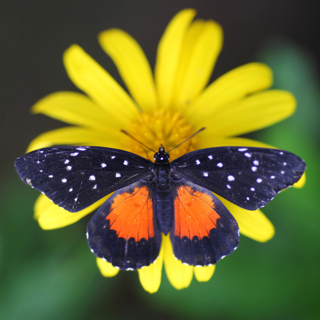 """""""The Tiger Longwing or Passionflower butterfly (Heliconius hecale)"""" stock image"""