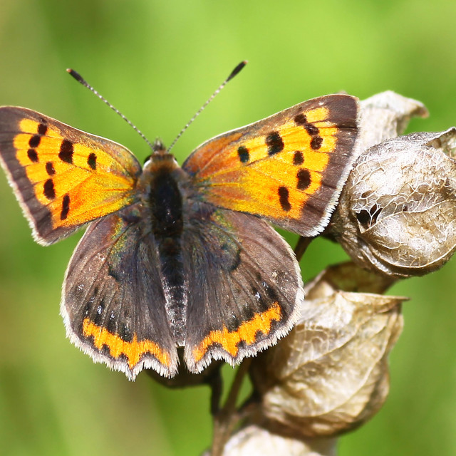 """Small Copper (Lycaena phlaeas) butterfly butterflies british on a Yellow Rattle or Cockscomb, (Rhinanthus minor) seed head"" stock image"