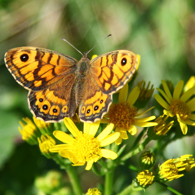"""The Wall Brown (Lasiommata megera) butterfly"" stock image"