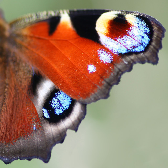 """""""A close up or macro shot of a Peacock (Inachis io) or (Nymphalis io) Butterfly wings"""" stock image"""