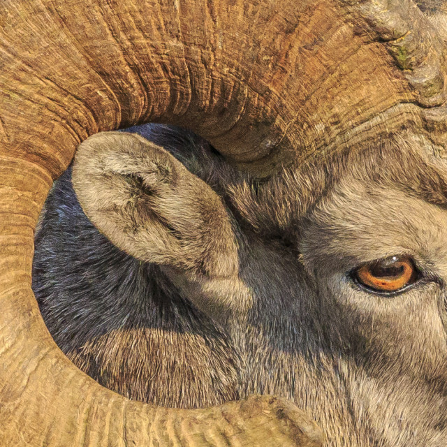 """Big Horn Sheep"" stock image"