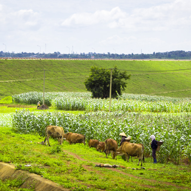 """""""The cows behind a field of corn"""" stock image"""