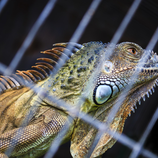 """""""Iguana"""" stock image"""
