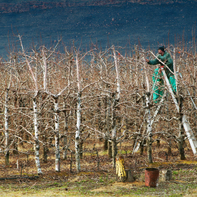 """""""Pruning fruit trees in an orchard"""" stock image"""