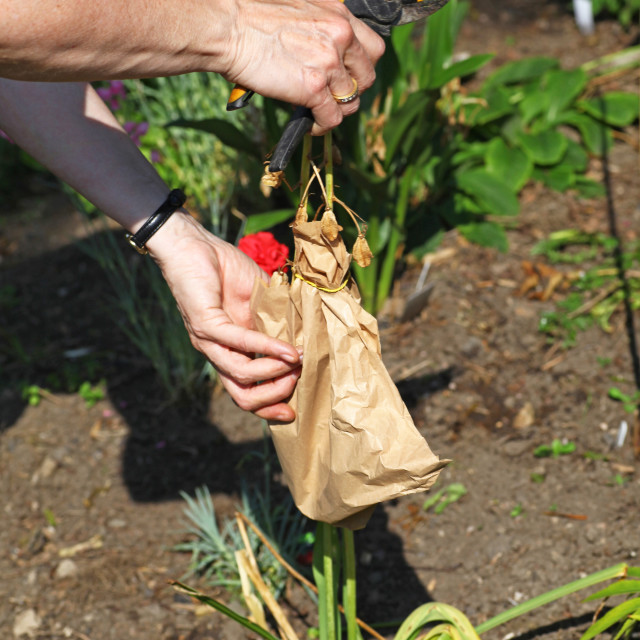 """A woman gathering or harvesting seeds and putting them in a brown paper bag to save"" stock image"