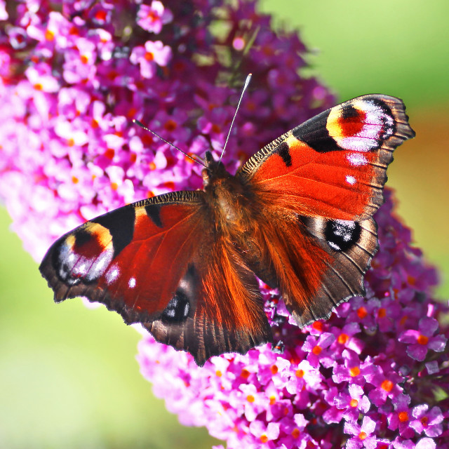 """A close up or macro shot of a Peacock (Inachis io) or (Nymphalis io) Butterfly on a purple Buddleia davidii flower"" stock image"