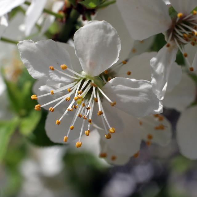 """Fruit flowers"" stock image"