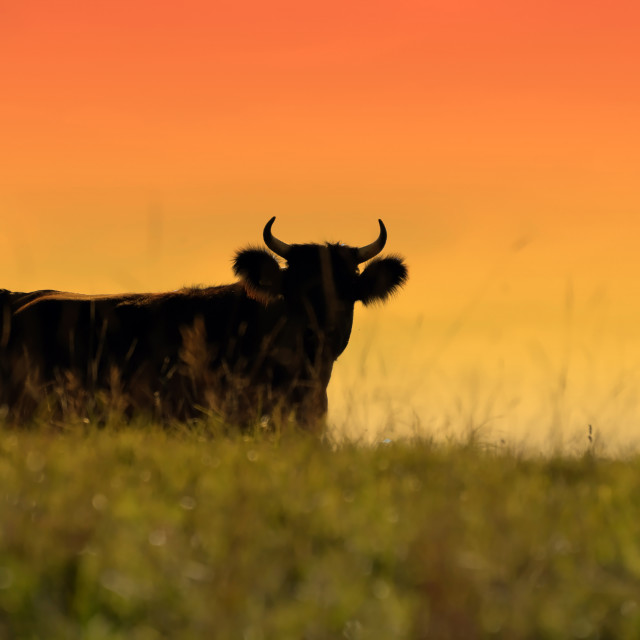 """Sunset Bull"" stock image"
