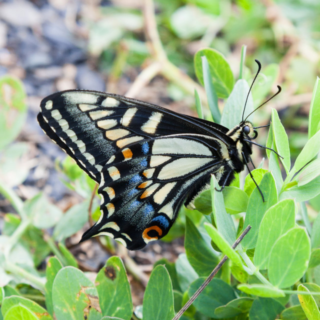 """Anise swallowtail butterfly"" stock image"
