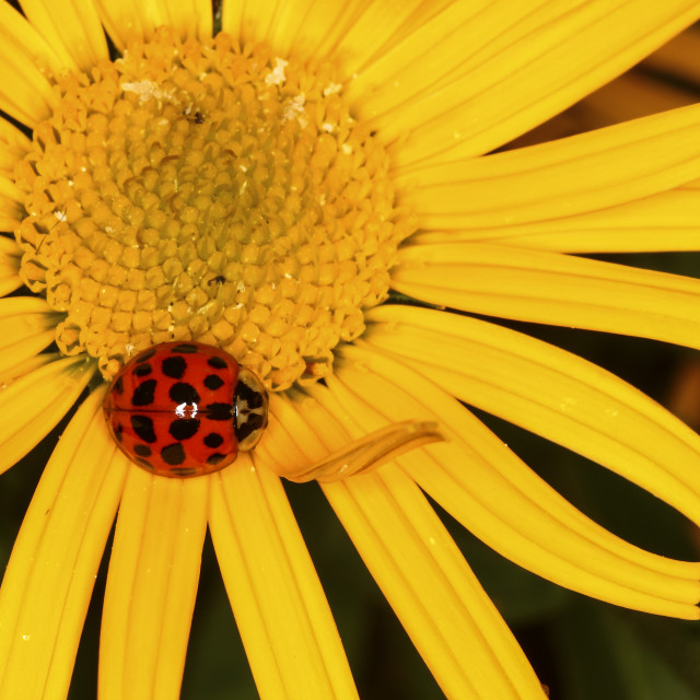 """Ladybird on a yellow flower head"" stock image"
