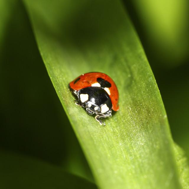 """Ladybird on plant leaf"" stock image"
