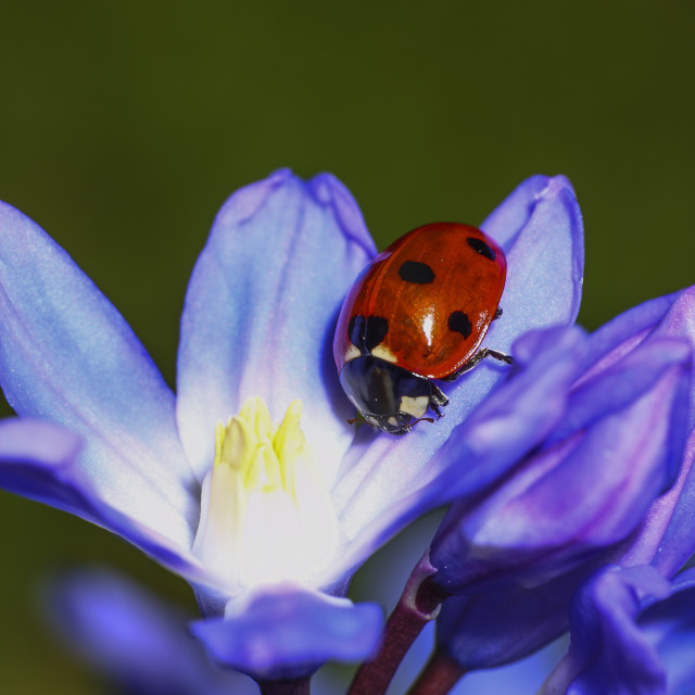 """Ladybird on chionodoxa"" stock image"