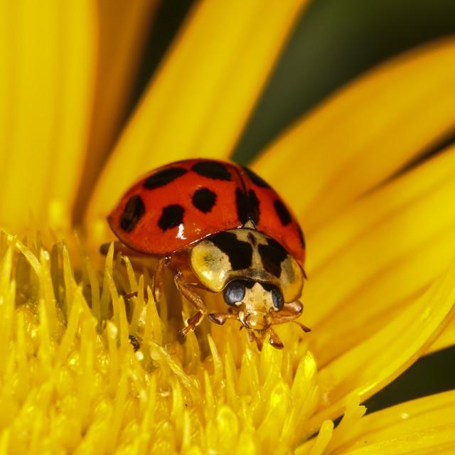 """Ladybird on yellow flower head"" stock image"