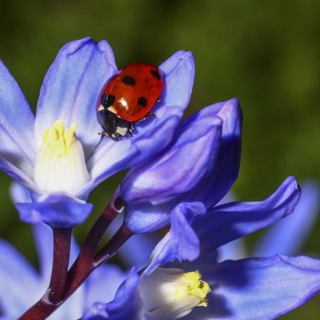 """""""Ladybird on chionodoxa"""" stock image"""