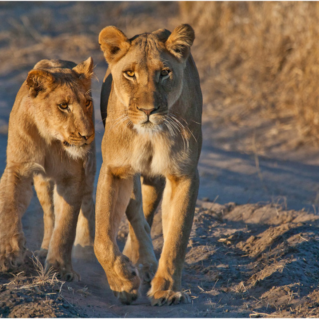 """Lionness and cub"" stock image"