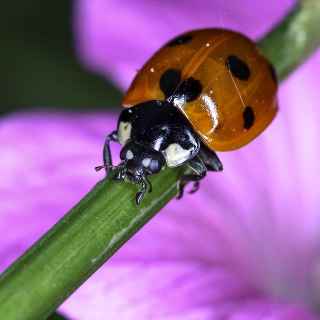 """Ladybird on plant stem"" stock image"
