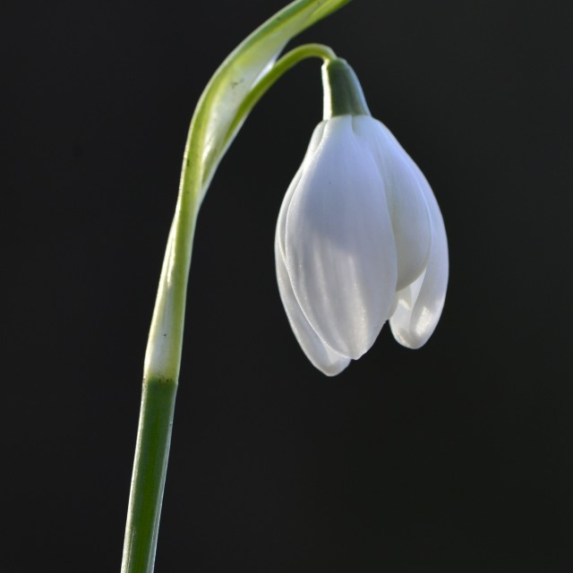 """Snowdrop Close Up"" stock image"