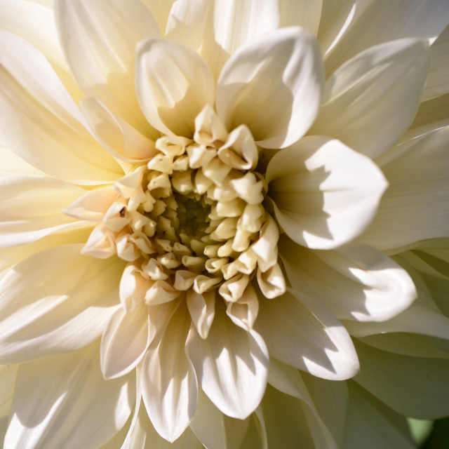 """""""Close-up of White Flower"""" stock image"""