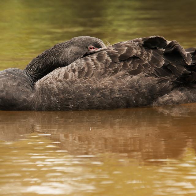 """""""Singapore.Black swan (Cygnus atratus)"""" stock image"""