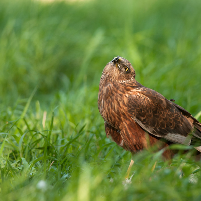 """""""Marsh harrier male watching up"""" stock image"""