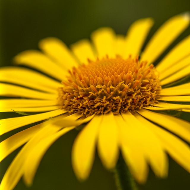 """""""Ox-eye daisy"""" stock image"""