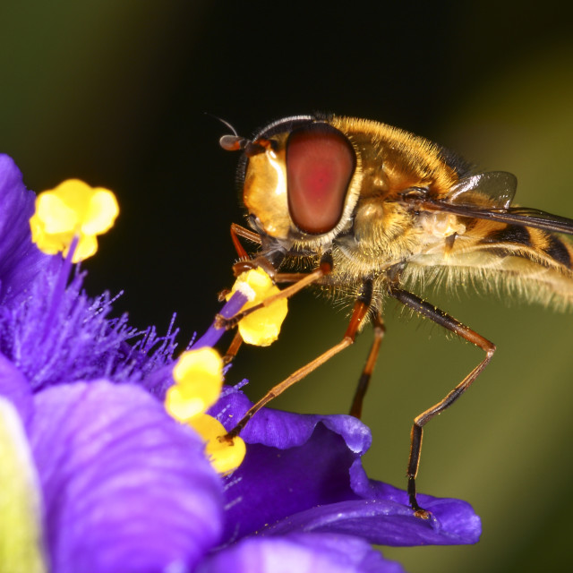 """Hoverfly pollinating"" stock image"