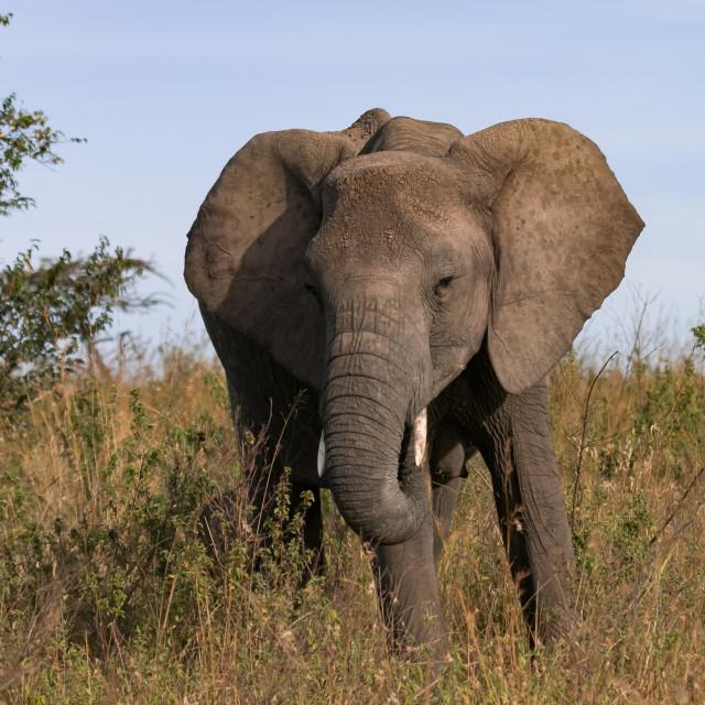 """Large bull elephant, Maasi Mara."" stock image"