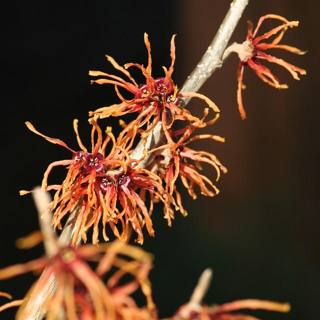 """""""The orangey/red flowers of a Witch Hazel, witchhazel Hamamelis x intermedia """"Jelena"""" deciduous winter flowering flower shrub"""" stock image"""