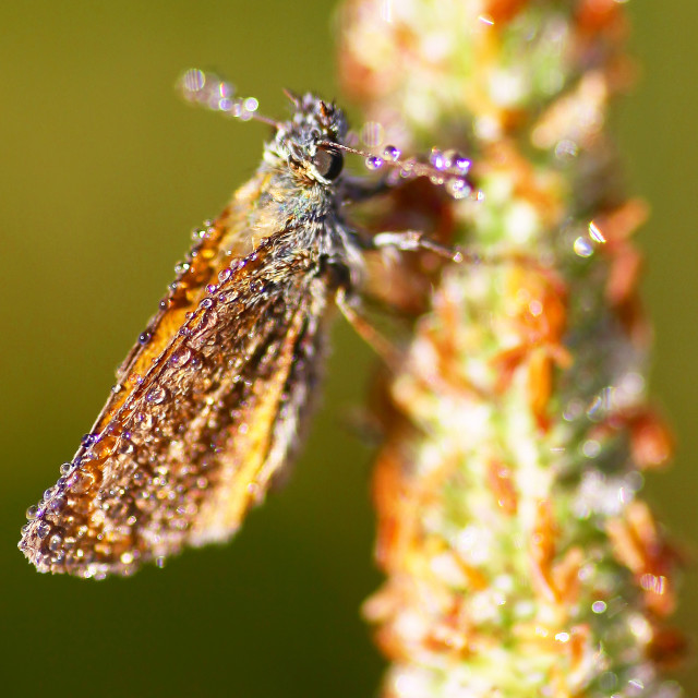 """""""Small Skipper (Thymelicus sylvestris) Butterfly covered in dew early on a summer morning"""" stock image"""