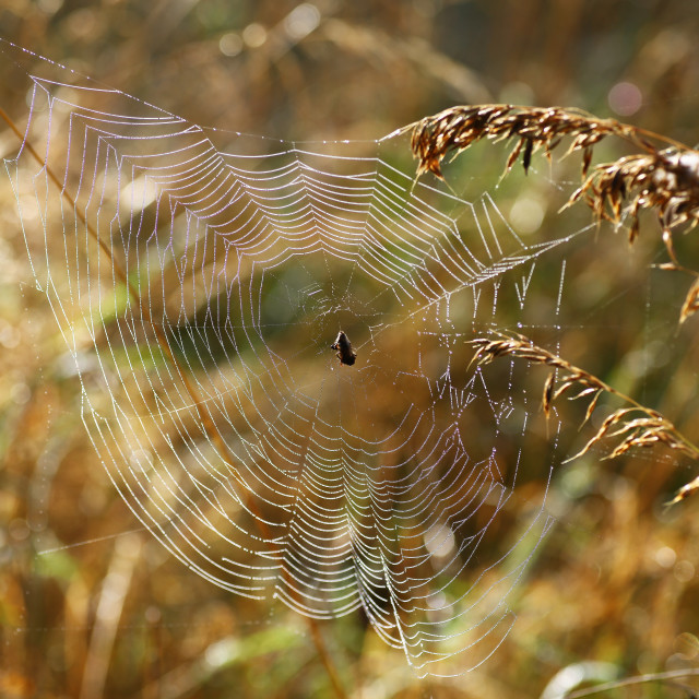 """""""A spider in the middle of it's web on a warm summers morning with the light shining through it"""" stock image"""