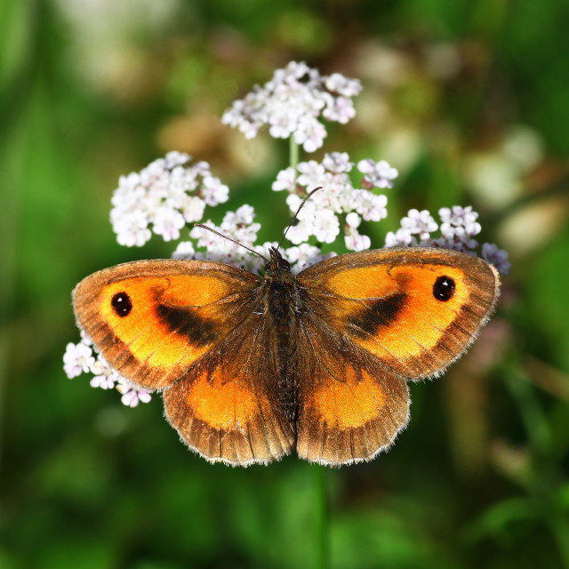 """""""Gatekeeper butterfly butterflies (Pyronia tithonus) or (maniola tithonius) sometimes called the Hedge Brown"""" stock image"""