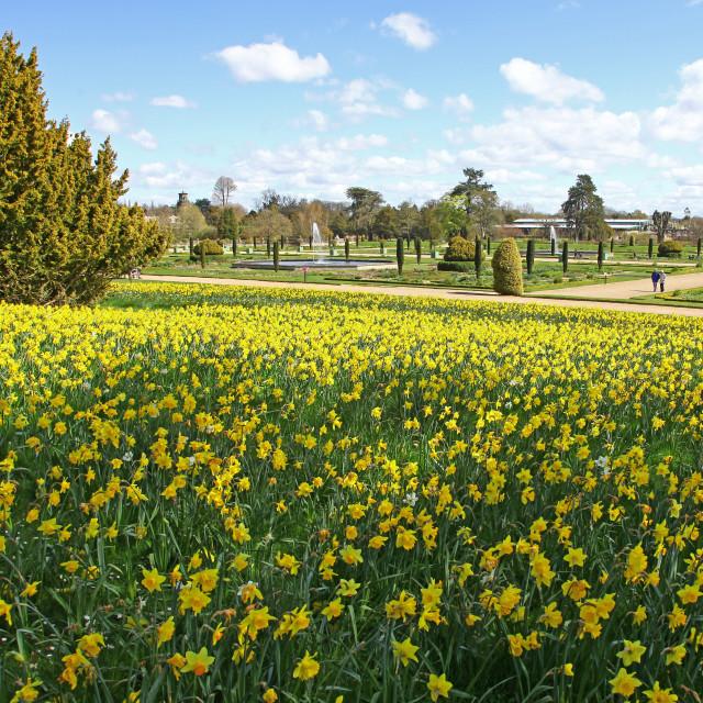 """Spring Daffodils at Trentham Gardens Estate in the Italianate garden Stoke on Trent Staffordshire England UK"" stock image"